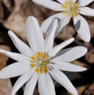 Sanguinaria (bloodroot) prostate cancer cure