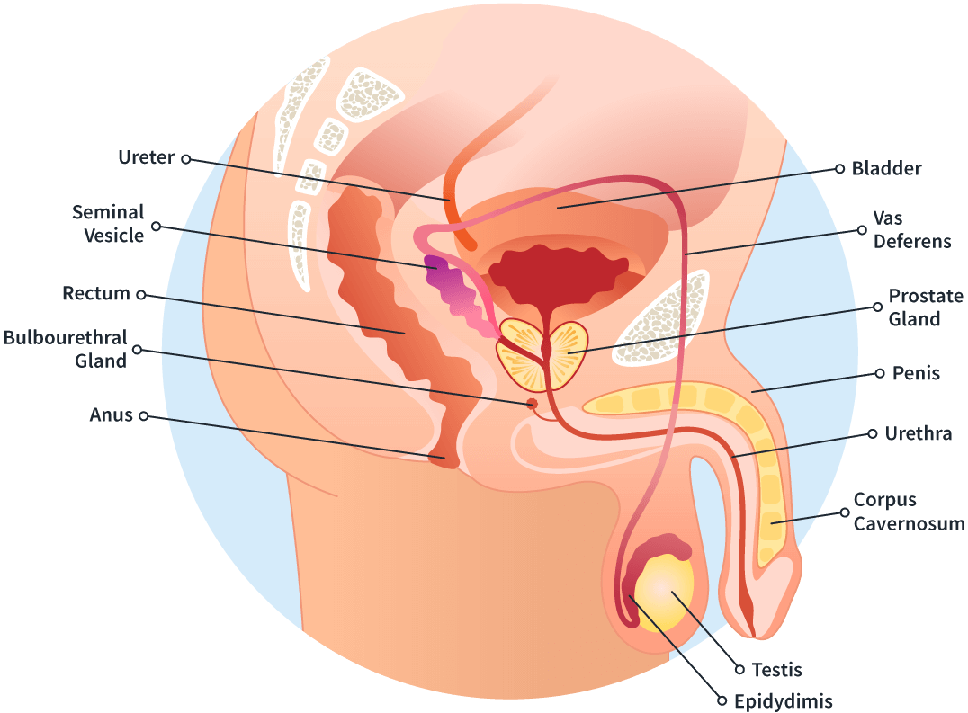 Prostate Anatomy Sperling Prostate Center