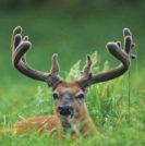Deer Antler Velvet - Sperling Prostate Center